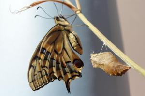 055-crisalide-farfalla-1